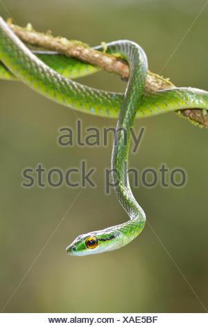 Serpent perroquet perché sur une branche au Costa Rica, Amérique centrale.
