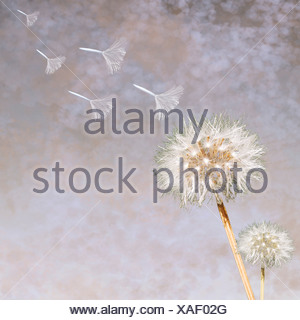 Le pissenlit (Taraxacum officinale) seedheads blowing in wind Banque D'Images