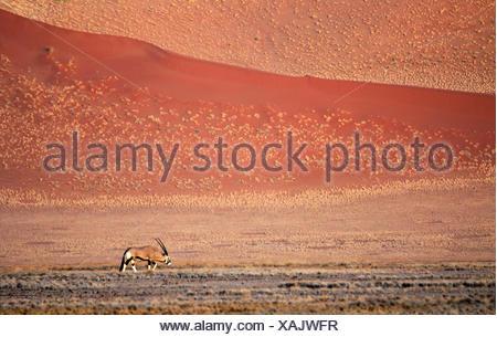 Gemsbok, Oryx gazella beisa (marche), en face des dunes de sable dans le Namib, Namibie, dessert le Parc National Namib Naukluft Sossusvlei, Banque D'Images