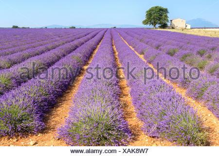 Champ de lavande dans la campagne près de Valensole, Alpes de Haute Provence, Provence-Alpes-Côte d'Azur, France. Banque D'Images