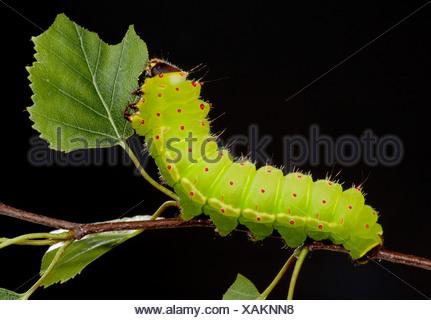 Luna ou la lune Espèce Caterpillar Actias luna des larves qui s'alimentent sur les feuilles de bouleau vert lumineux Banque D'Images