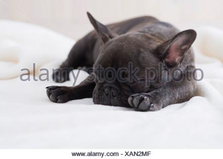 Bouledogue français dort sur une couverture Banque D'Images