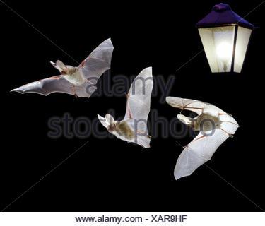 403c78c6616199 ... Chauve-souris longue (Plecotus auritus) battant par lampe. Composite  numérique. Banque