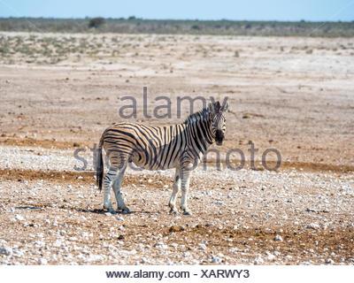 Le zèbre de Burchell (Equus quagga burchellii), Okaukuejo, Etosha National Park, Namibie Banque D'Images