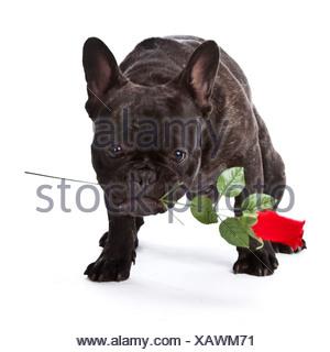 Bouledogue français (Canis lupus f. familiaris), à la rose Banque D'Images