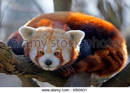 Petit panda, le panda rouge (Ailurus fulgens), assis sur une branche Banque D'Images