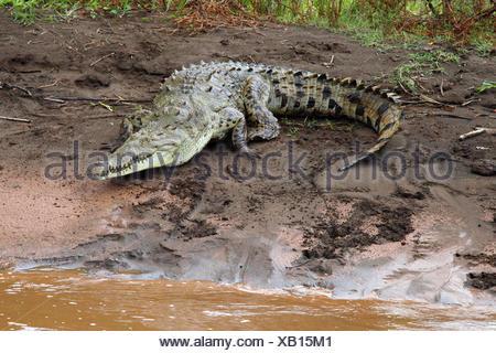 Un crocodile, Crocodylus acutus, au soleil sur un banc de sable.