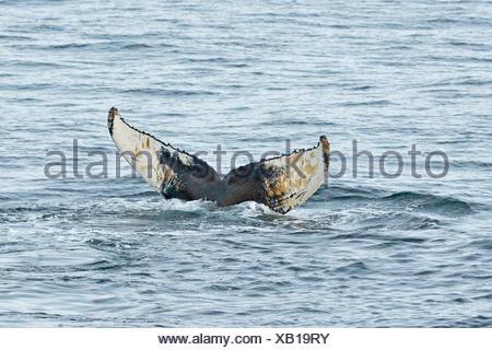 Fluke, baleine à bosse (Megaptera novaeangliae), plongeant, de Barents, Nordaustland, archipel du Svalbard Banque D'Images