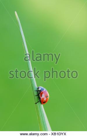 Allemagne, Bavière, Sept-spot Coccinelle (Coccinella septempunctata) sur le brin d'herbe, Close up Banque D'Images
