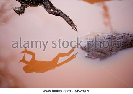 Une Cane Toad se reflète comme il saute d'un rocher dans une flaque de boue, Kauai, Hawaii, USA (Bufo marinus) Banque D'Images