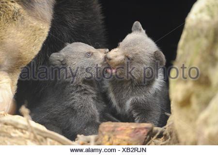 L'ours brun (Ursus arctos arctos), deux oursons, Allemagne, Bavière, Parc National de la Forêt bavaroise Banque D'Images