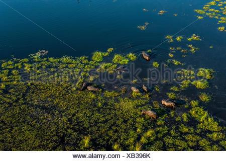 Un troupeau d'hippopotame, Hippopotamus amphibius, pataugeant dans le Delta de l'Okavango au Botswana. Banque D'Images