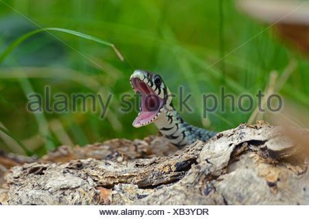 Couleuvre à collier (Natrix natrix), la bouche ouverte, Allemagne