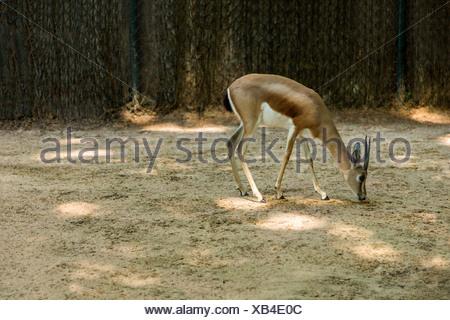 Gazelle dans un zoo, le Zoo de Barcelone, Barcelone, Catalogne, Espagne