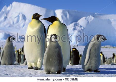 Manchot Empereur (Aptenodytes forsteri), manchots empereurs avec les poussins, l'Antarctique Banque D'Images