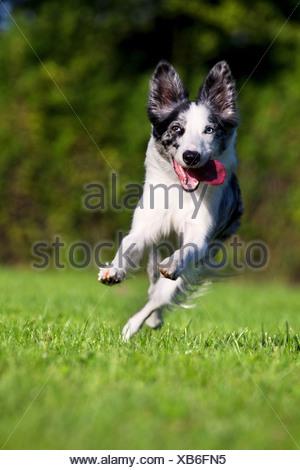 Chien qui court sur l'herbe Banque D'Images