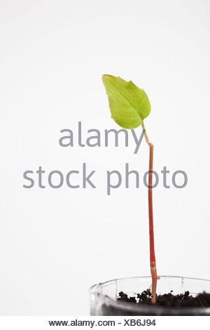 Nouvelles des semis d'arbres à travers le sol dans une bouteille en plastique, Studio de composition, Laval, Québec, Canada Banque D'Images