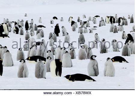 Les jeunes manchots empereurs en attente de l'Antarctique l'Île Coulman alimentaire Banque D'Images