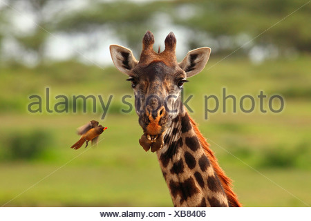 Girafe (Giraffa camelopardalis), red-billed oxpecker, la Tanzanie, la Ngorongoro Conservation Area Banque D'Images