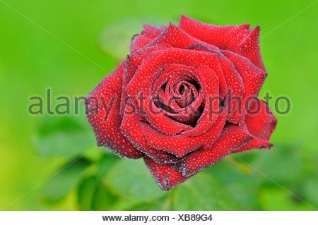 Rose rouge avec les gouttes de pluie, rose thé hybride Schwarze Madonna, Rhénanie du Nord-Westphalie, Allemagne Banque D'Images