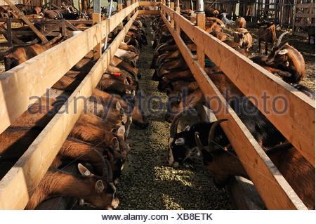L'alimentation des chèvres laitières dans une grange sur une ferme biologique Banque D'Images