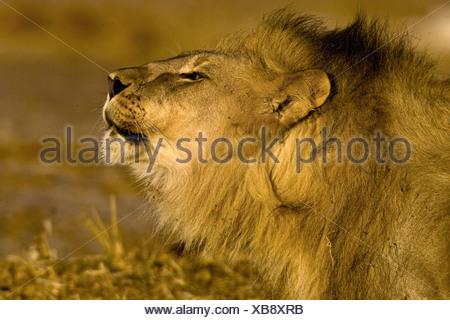 Portrait lion rugissant, Etosha National Park, Namibie Banque D'Images