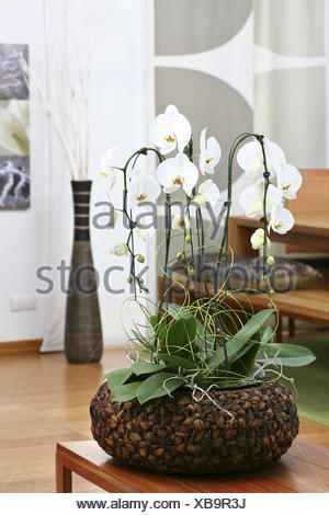 orchid es panier r sidentielle blossom blanc phalaenopsis fleurs plantes exotiques. Black Bedroom Furniture Sets. Home Design Ideas