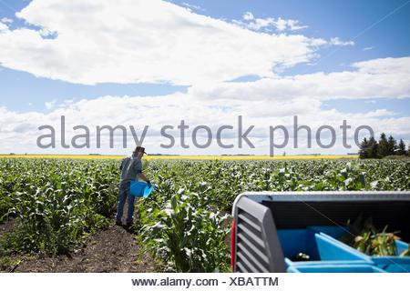 Producteur principal contrôle de récolte de maïs vert sur sunny farm Banque D'Images