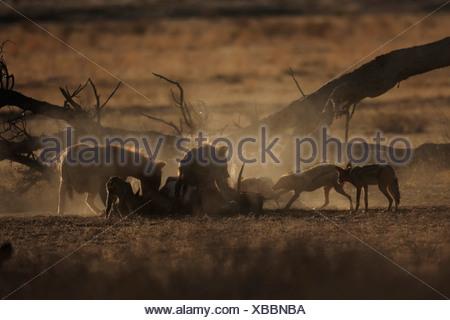 L'Hyène tachetée (Crocuta crocuta), certains animaux se nourrissant dans le cadavre d'un bovidé avec chacals dans la savane, Botswana, Chobe National Park Banque D'Images
