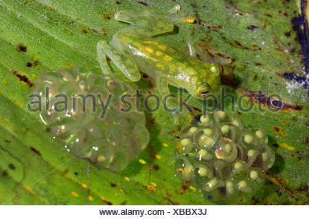 Grenouille de verre réticulé (Hyalinobatrachium valerioi), avec spawn, Costa Rica Banque D'Images