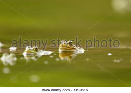 L'accouplement des grenouilles dans l'eau, Delta du Danube, Roumanie Banque D'Images