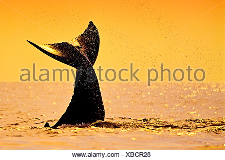 Coup de rorqual à bosse, Megaptera novaeangliae, Hawaii, USA Banque D'Images