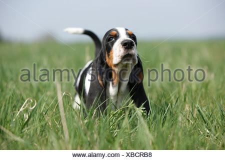 Basset Hound (Canis lupus f. familiaris), âgé de huit semaines mettent bas marche à travers un pré, Allemagne Banque D'Images