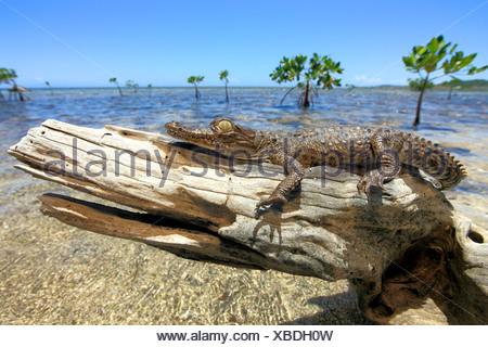 Crocodile (Crocodylus acutus), les jeunes, plage, souche d'arbre, se reposer, Roatan, Honduras, Caraïbes, Amérique Centrale
