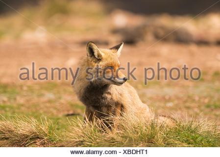 Le renard commun ou renard roux (Vulpes vulpes), photographié dans l'Espinar Segovia. Banque D'Images