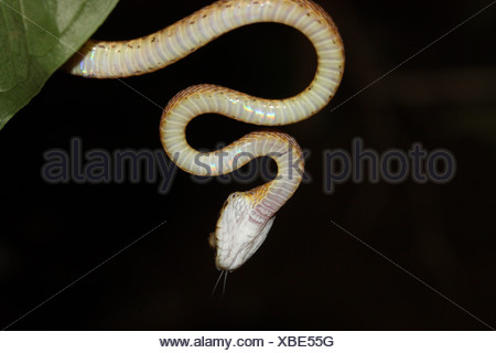 Le chat de FORSTEN Boiga forsteni serpent venimeux Midly pendu à une branche commune.