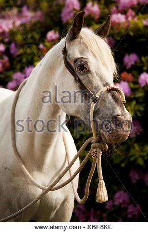 POA, poney des Amériques, cheval blanc portant un Bosal hackamore, un bitless bridle utilisé en équitation Western
