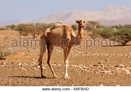 Semi-sauvages Dromadaire (Camelus dromedarius), dans son habitat naturel dans un semi-désert, Sultanat d'Oman, au Moyen-Orient Banque D'Images