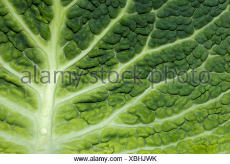 Close up of savoy feuille de chou (Brassica oleracea) Banque D'Images