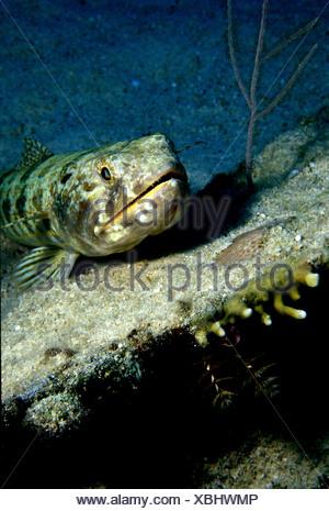 Un plongeur SABLE Synodus intermedius REPOSE SUR UN MORCEAU D'épave dans les Florida Keys Banque D'Images