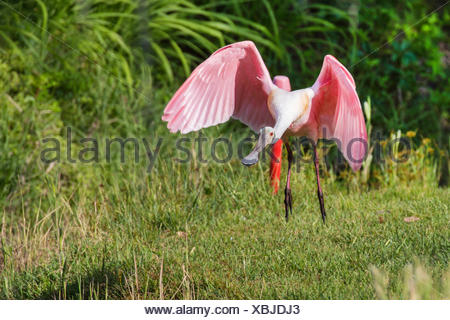 Roseate spoonbill (Ajaia ajaia), flying, USA, Florida, Tampa, Westkueste Banque D'Images