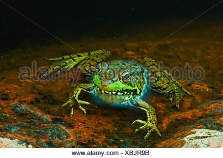 Close-up de la grenouille verte (Rana clamitans) à bord d'étang, Killarney Provincial Park, Ontario, Canada