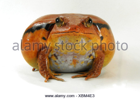 Dyscophus guineti grenouille tomate Banque D'Images
