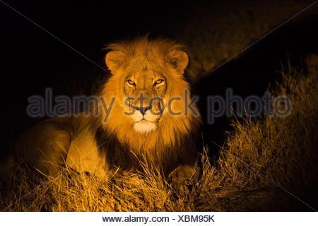 L'African lion (Panthera leo) dans l'obscurité. Delta de l'Okavango, au Botswana, l'Afrique. Banque D'Images