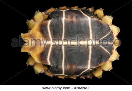 Portrait d'une forêt en arrière-charnière, tortue Kinixys erosa. Banque D'Images