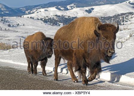 Un bison d'Amérique vache et veau à pied le long d'une route enneigée. Banque D'Images