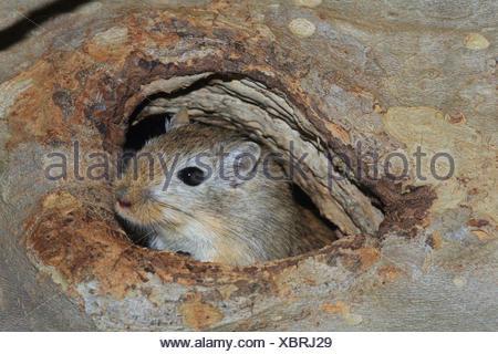 Gerbille de Mongolie Meriones unguiculatus,