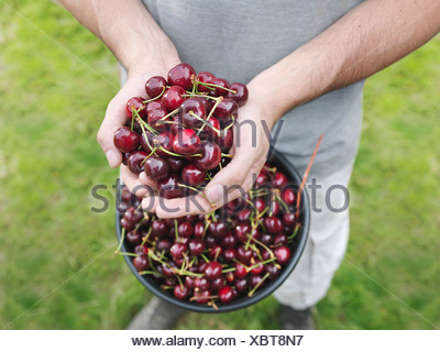 Man holding freshly picked cherries Banque D'Images