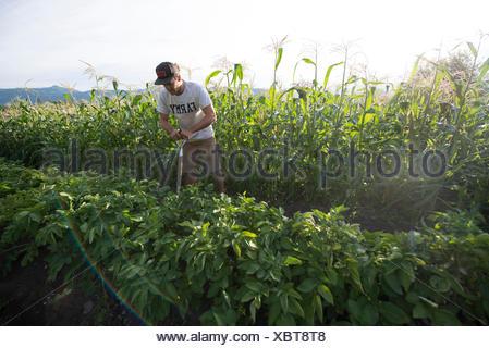 La récolte des pommes de terre sur une ferme urbaine biologique. Banque D'Images