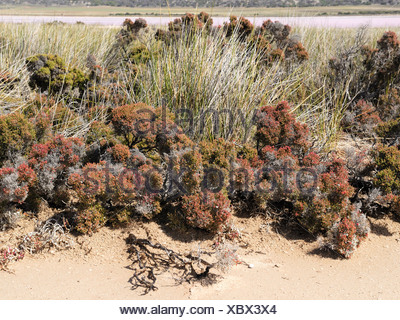 Pan de sel, la végétation, les lacs Hutt Lagoon Rose, Port Gregory, Western Australia, Australia Banque D'Images
